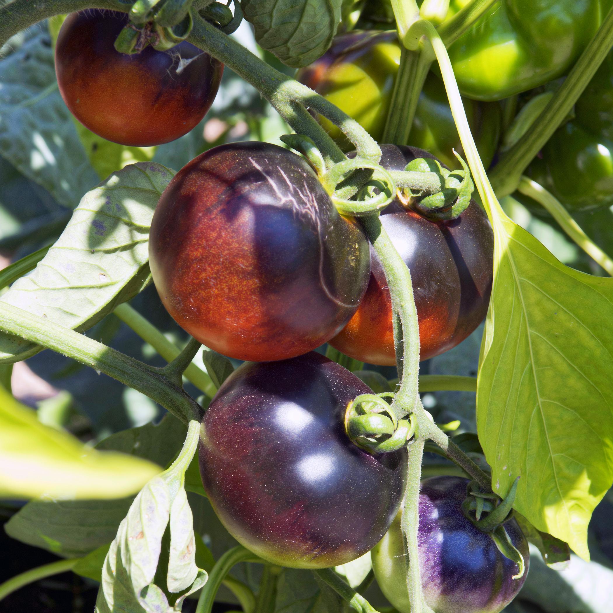 agriculture-urbaine-tomat-horti-media