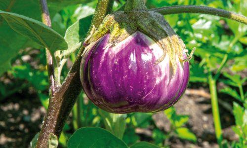 Les multiculturelles aubergines
