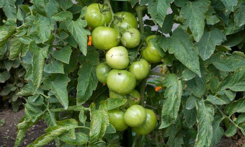 Les tomates ont-elles besoin de lumière pour grossir et mûrir?