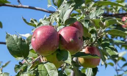 Se faire chanter la pomme… pour ne pas y tomber!